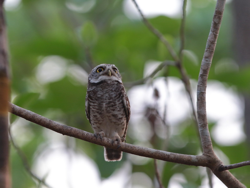Birds Spotted Owlet